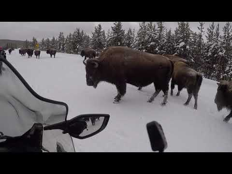 Geezers at Yellowstone with Bison
