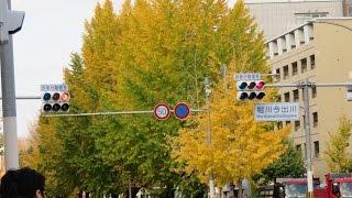 京都 堀川通りのイチョウ並木