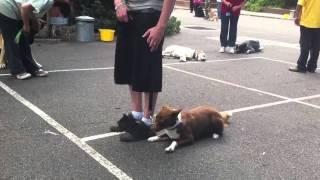 Charlie The Kelpie - Alpha Dog Training