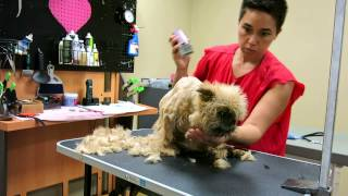 Britney - brussels griffon - senior pet grooming disabled dog Video 1