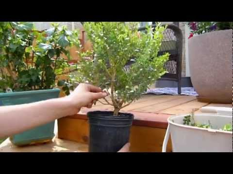 the bonsai project boxwood s first pruning youtube rh youtube com Bonsai Shapes bonsai wiring time