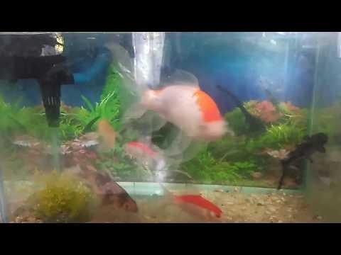 Fish - Ikan Mas Koki vs Patin