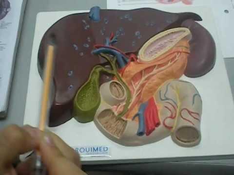 abdomen modelo hígado vesícula biliar, pancreas, duodeno - YouTube