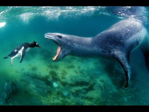 Leopard Seal - The King Of Antarctica - National Geographic