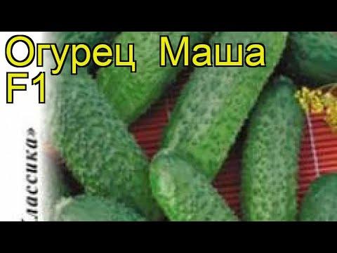 Огурец Маша F1 (Огурец). Краткий обзор, описание характеристик, где купить семена cucumis sativus