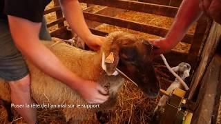 Support contention pour ovins
