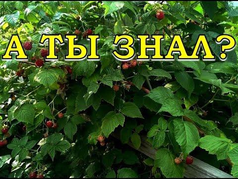 МАЛИНА: можно ли сажать рядом разные сорта? | вредитель | описание | отзывы | малины | малина | весной | ягода | сорта | отзыв | фото