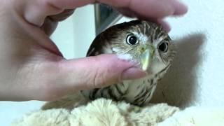 我が家で飼育しているアカスズメフクロウの動画です。