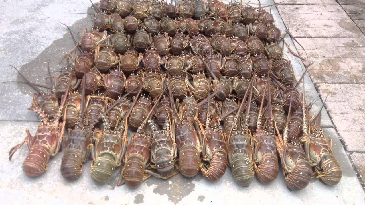 Lobster mini season July 2014 - YouTube