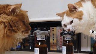 ねこ型ハンドスピナーを止める可愛い猫( cat spinner )