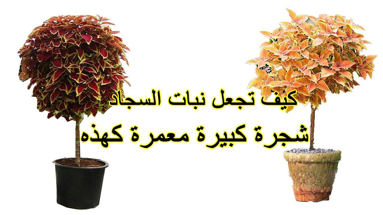 طريقة عمل نبتة السجاد شجرة كبيرة معمرة