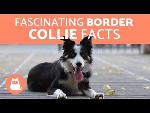 10 Fascinating Facts About the Border Collie