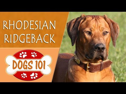 Dogs 101 -  RHODESIAN RIDGEBACK - Top Dog Facts About the  RHODESIAN RIDGEBACK
