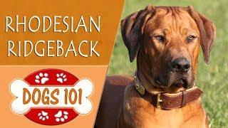 Dogs 101   RHODESIAN RIDGEBACK  Top Dog Facts About the  RHODESIAN RIDGEBACK