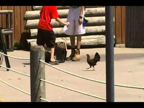 Buffalo Zoo-Chickens