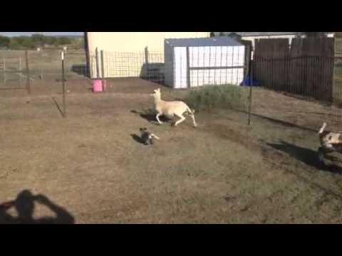 Australian cattle dog puppy herding sheep