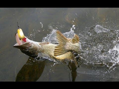 какая рыба клюет на мышь