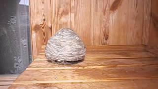 видео Осиное гнездо на балконе | Уничтожить ос и снять гнездо - Ликвидатор