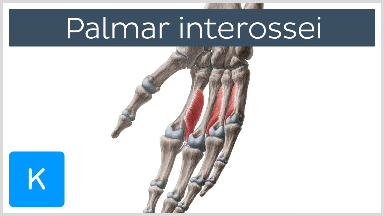 Palmar Interossei Muscles - Origins & Function - Human Anatomy ...