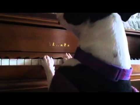 Piano playing singing Dog