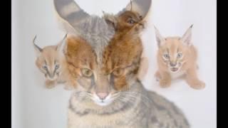 Экзотические кошки