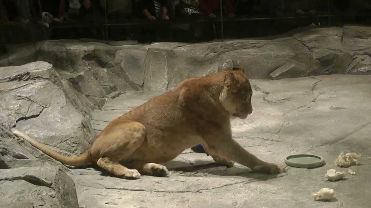 The Lion Habitat At Mgm Grand Las Vegas Youtube
