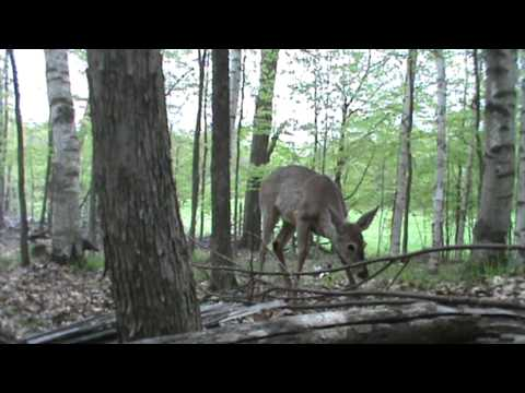 Yearling Deer React to Turkey Decoys