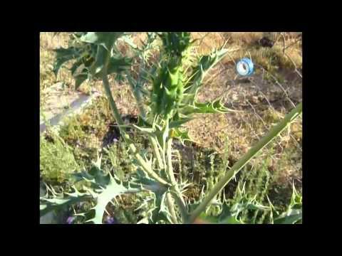 Planta del Chicalote,