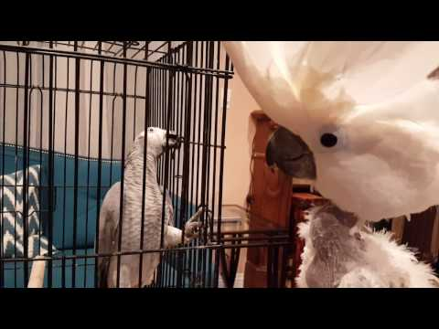 Jersey The Cockatoo Wants to Free African Grey Rescue Parrot | PARROT TALK
