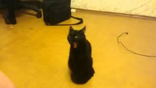 Черная кошка зевает