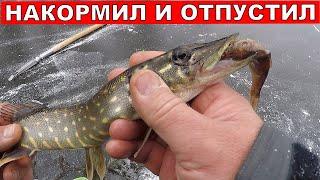 Рыбалка на жерлицы зимой 2021 Жерлицы на щуку Щука на жерлицы зимой Рыбалка на щуку зимой Жерлицы