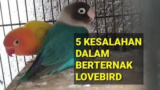 5 KESALAHAN DALAM BERTERNAK BURUNG LOVEBIRD