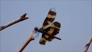 茄萣濕地昆蟲系--彩裳蜻蜓