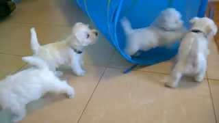 Westie Puppies West Highland White Terrier 2015 Adamantinacorda Com 3/3