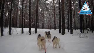 Упряжка 8-мь собак.