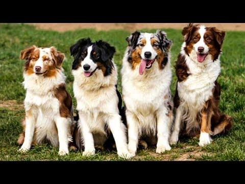 Вопрос: Австралийская овчарка. Что известно об этой породе собак?