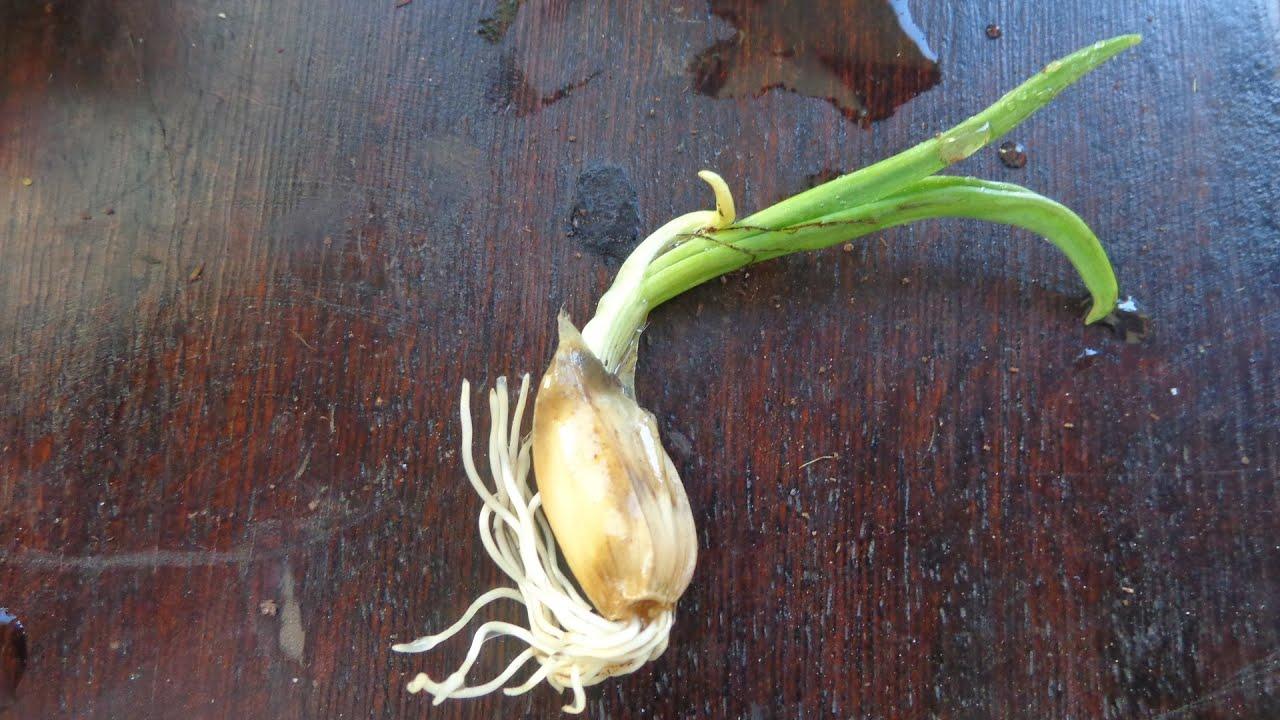 Como plantar alho em vasos, processo completo! - YouTube