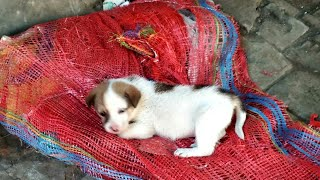 Cute Puppies-|Rony Ki Poetry| #cute #puppies #pets #animals #india #Ronykipoetry #guitar #rony