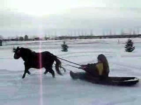 miniature horse pulling sleigh youtube