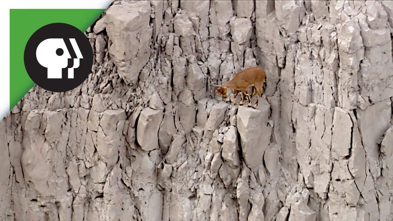 נפלאות הבריאה: עיזים מטפסות על סלעים