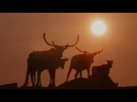 Caribou migration to the Arctic - BBC