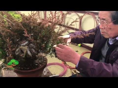 Pruning and wiring by Masahiko Kimura Part1