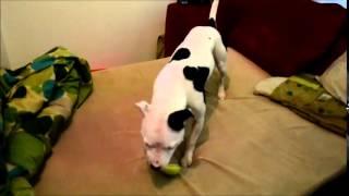 Zoey The Staffordshire Bull Terrier Is Not A Huge Apple Fan...