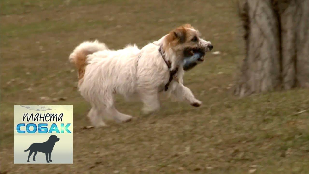 Чешский терьер. Планета собак