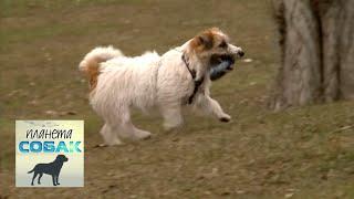 Чешский терьер. Планета собак 🌏 Моя Планета