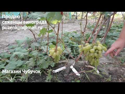 Виноград Бажена (Пузенко Наталья Лариасовна)