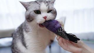 主人拿鸟逗猫-猫咪一口咬住鸟头-鸟-其实我是铁脑壳