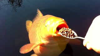The Most Expensive Koi Fish In The World!