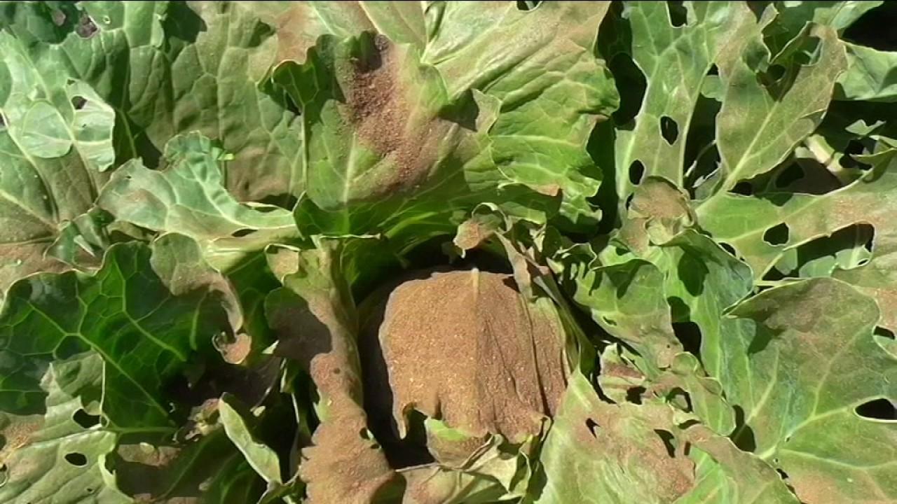Табачная пыль против вредителей капусты