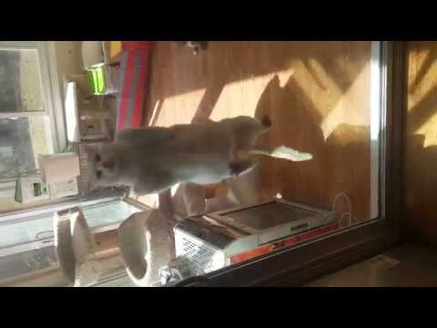 Turkish Van cat jumps up nearly 6 feet multiple times